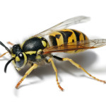 European_wasp_white_bg