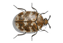 long-island-pest-pro-exterminating-carpenter-carpet-beetle