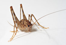 long-island-pest-pro-exterminating-cricket
