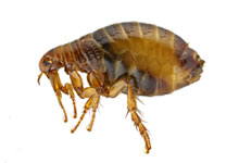 long-island-pest-pro-exterminating-flea