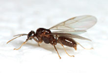 long-island-pest-pro-exterminating-flying-ant