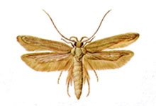 long-island-pest-pro-exterminating-grain-moth
