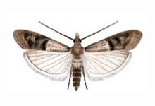 long-island-pest-pro-exterminating-meal-moth