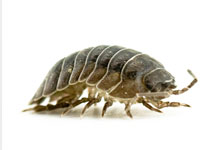 long-island-pest-pro-exterminating-pill-bug