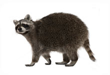 long-island-pest-pro-exterminating-raccoon
