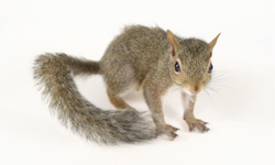 long-island-pest-pro-exterminating-squirrel